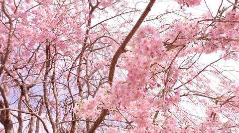 青空と桜の写真フリー素材 Blue sky and cherry blossoms photo free material