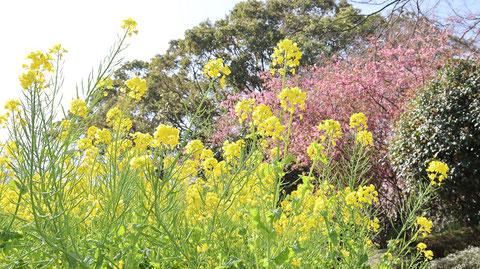 公園の黄色い花写真フリー素材 Park yellow flowers photo free material