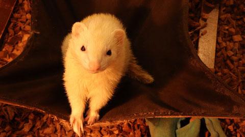 小動物、フェレット、動物の写真フリー素材 Small animals, ferrets, animals photos free material