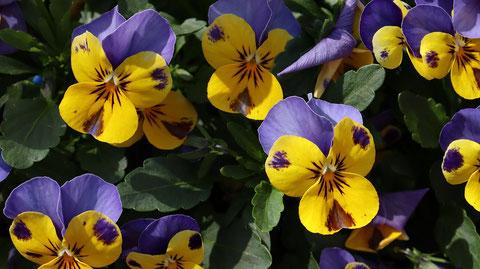 紫と黄色の花の写真フリー素材 Purple and yellow flowers photo free material