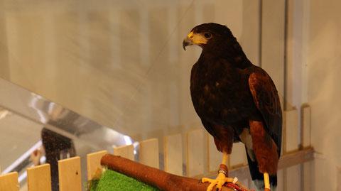 鷹のフリー素材 Hawk free material