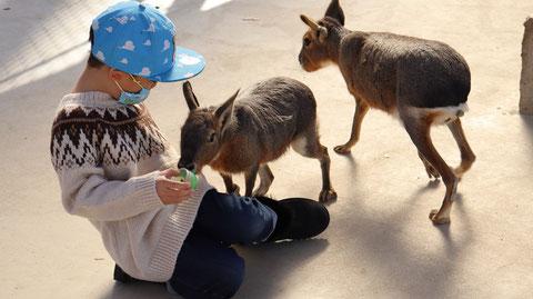 子供と動物のフリー素材 Dolichotis patagonum Free material