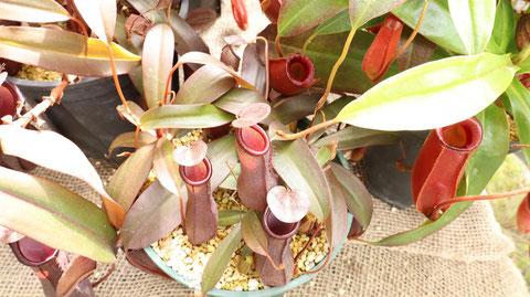 ウツボカズラのフリー素材 Free material of Nepenthes