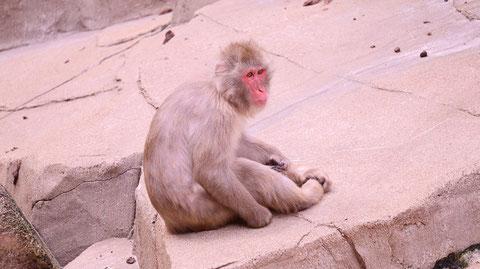 猿、日本猿、ニホンザル、哺乳類、動物園、動物の写真フリー素材 Pictures of monkeys, Japanese monkeys, mammals, zoos, animals Free material