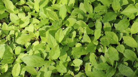 ハーブの写真フリー素材 Herb photo free material