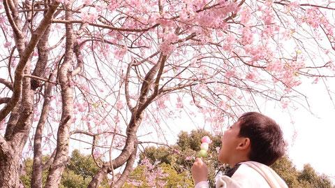 桜と子供とお団子の写真フリー素材 Photos of cherry blossoms, children and dumplings Free material