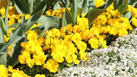 黄色い花と白い花の写真フリー素材 Yellow Flowers and White Flowers Photos Free Material