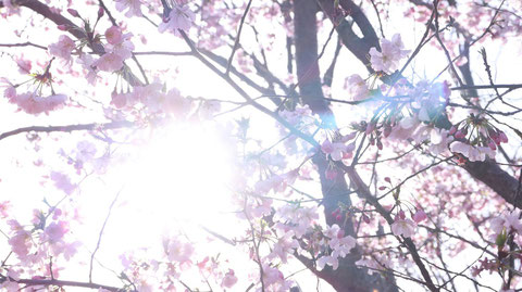 桜の隙間から太陽、木漏れ日の写真フリー素材 Photo-free material of the sun and sunlight through the gaps in the cherry blossoms