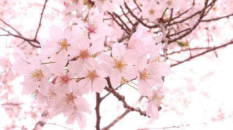 満開に咲く桜の素材 Material of cherry blossoms in full bloom