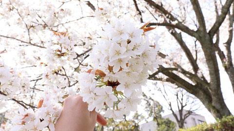 白い花を持つの写真フリー素材 Photograph-free material of the sun through the gaps of cherry blossoms