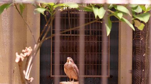 タカ、動物園、動物の写真フリー素材 Falcon, zoo, animal photos free material