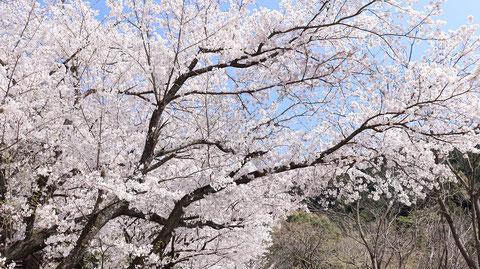 山桜の写真フリー素材 Wild cherry tree photo free material
