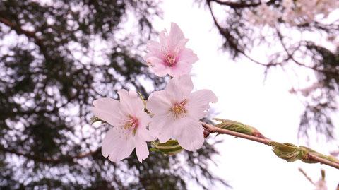 桜と緑の写真フリー素材 Sakura and green photo free material