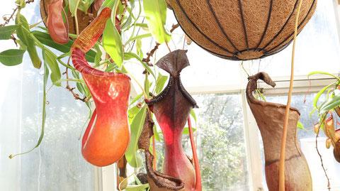 ウツボカズラ、ウツボット、の写真フリー素材 Nepenthes Photo Free Material