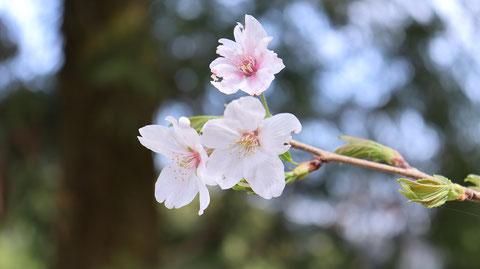 近距離で見た桜の画像写真フリー素材 Image of cherry blossoms seen at a short distance Photo Free materiall