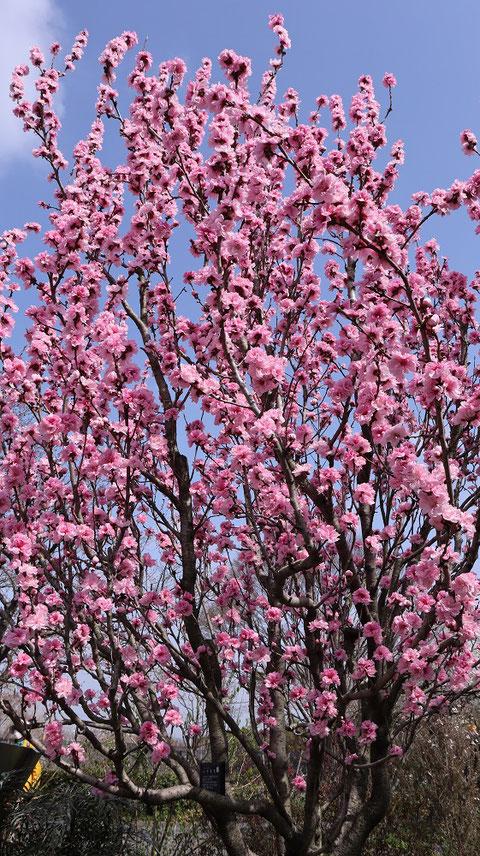 ピンクの花の木写真フリー素材 Pink Flower Tree Photo Free Material