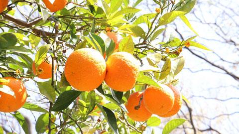 オレンジ農園の写真フリー素材 Orange Farm Photos Free Material