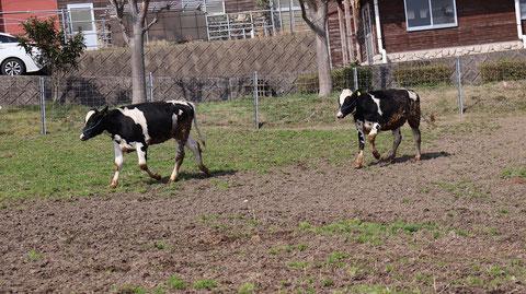 牧場、家畜、牛、乳牛、動物の写真フリー素材 Ranch, livestock, cow, dairy cow, animal photo free material
