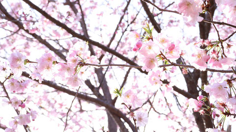 桜と蕾の写真フリー素材 Sakura and bud photo free material