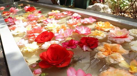 水辺に浮く花薔薇の写真フリー素材 Photo free material of flower rose floating on the waterside