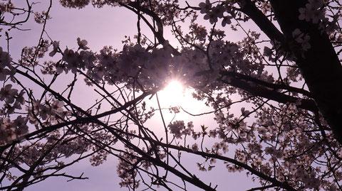 桜、日差し、太陽、暗い、逆光、風景写真フリー素材 Cherry blossoms, sunlight, sun, darkness, backlight, landscape photography free material