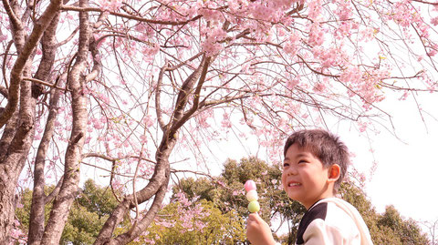桜と笑顔で食べる子供の写真フリー素材 Pictures of children eating with cherry blossoms and smiles Free material