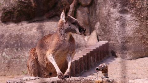 カンガルー、アカカンガルー、哺乳類、動物園、動物の写真フリー素材 Kangaroo, Red Kangaroo, Mammals, Zoos, Animals Photos Free Material