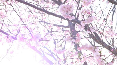 桜と光の写真フリー素材 Sakura and light photo free material