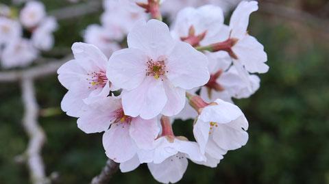 桜の花びらの写真フリー素材 Cherry blossom petals photo free material