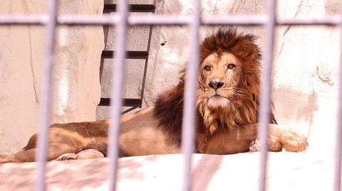 ライオン、猫科、動物園、動物の写真フリー素材 Lion, feline, zoo, animal photo free material
