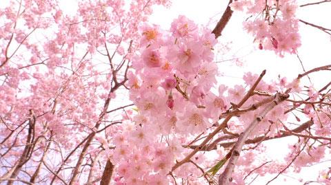 桜の束の写真フリー素材 Bunch of cherry blossoms photo free material