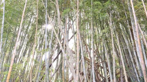 日が差す明るい竹林の写真フリー素材 Bright bamboo grove in the sun Free material
