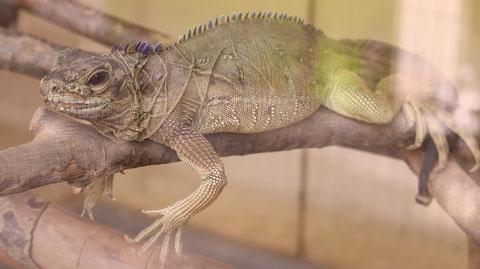 フィリピンホカケトカゲ、トカゲ、爬虫類、動物園、動物の写真フリー素材 Philippine sailfin lizard, lizard, reptile, zoo, animal photo free material
