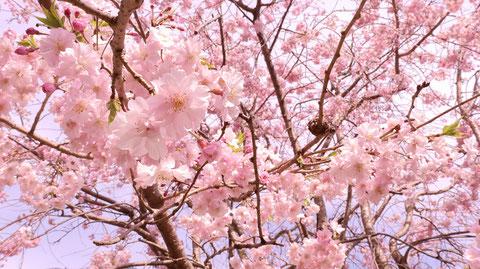 下から見た桜の写真フリー素材 Photo of cherry blossoms seen from below Free material