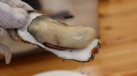 牡蠣の写真フリー素材 Oyster photo free material