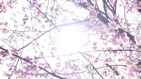 桜の間から木漏れ日の写真フリー素材 Photo-free material of sunlight through the cherry blossoms