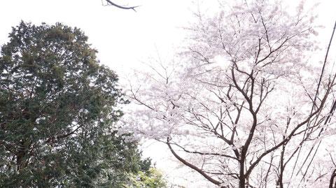 桜と木の写真フリー素材 Sakura and tree photo free material