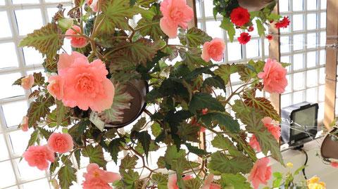 ピンクの薔薇の写真フリー素材 Pink rose photo free material