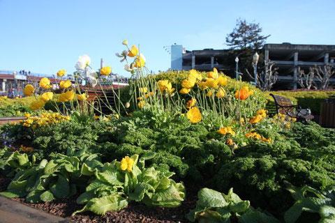Warum auch nicht? Einfach mal Petersilie ins Blumenbeet pflanzen!