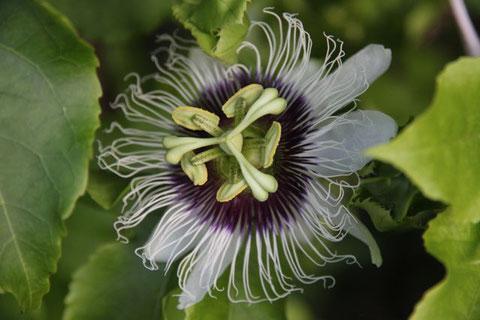 Maracuja-Blüte