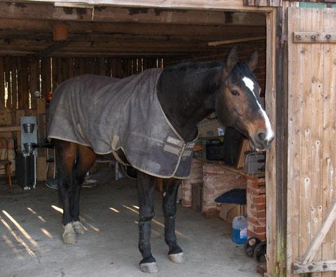Felix mit Pferdedecke schaut aus der Scheune heraus auf den Hof