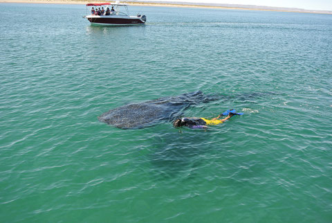 Nadar con Tiburon Ballena en La Paz Baja