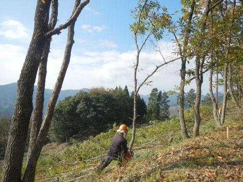秋、秋の日差しで椎茸原木伐採