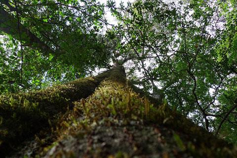 樫葉原生林の巨樹