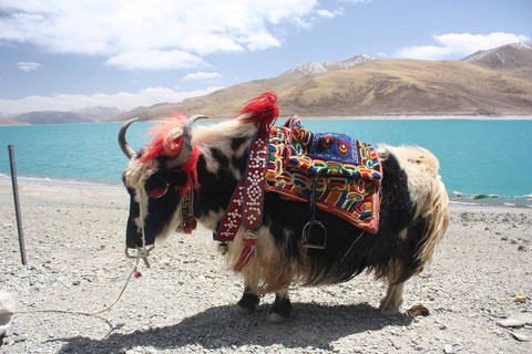 Yak am Yamdrok Lake