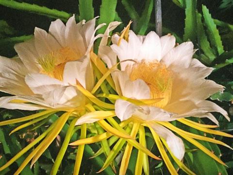 三宅サンマルツァーノ 菊地農園 ドラゴンフルーツの花