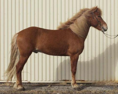 Figure 1. La position idéale du cheval pendant le jugement de la morphologie. Les antérieurs sont verticaux et les canons des postérieurs sont également verticaux, le cheval n'est pas tendu, ni à l'avant, ni à l'arrière.