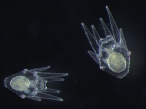 Two 10-day old pluteus-stage larvae of the green sea urchin, Strongylocentrotus dorebachiensis.