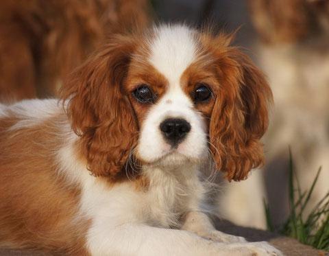 Come crescere un cucciolo cavalier king charles spaniel - Cosa mangia un cucciolo di talpa ...