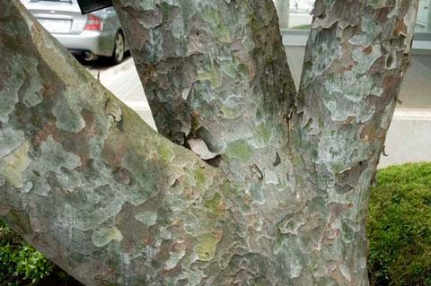 撮影 2011/7/3  ハクショウは聖なる樹として珍重されています